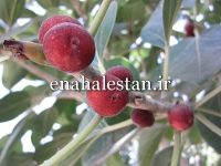 میوه انجیر بنگال