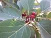 میوه و برگ انجیر بنگال