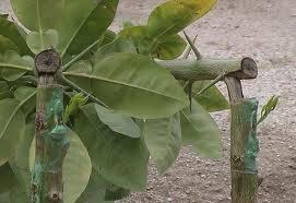 شاخه زنی پس از پیوند زدن